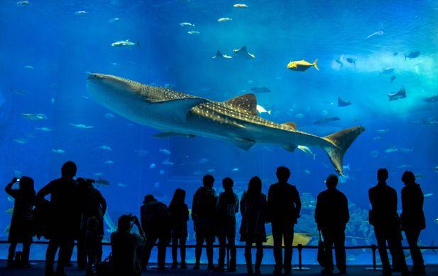 http---www.morewallpapers.com-wp-content-uploads-2016-02-Okinawa-Churaumi-Aquarium