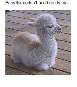 baby-llama-dont-need-no-drama-e2a080-7936510